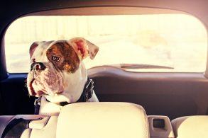 Pesquisa revela insegurança no transporte de cachorros