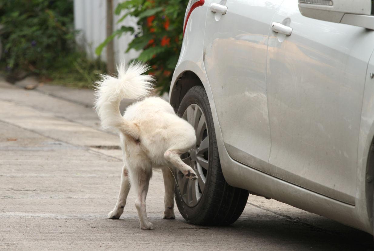 cachorro xixi roda carro oxidar