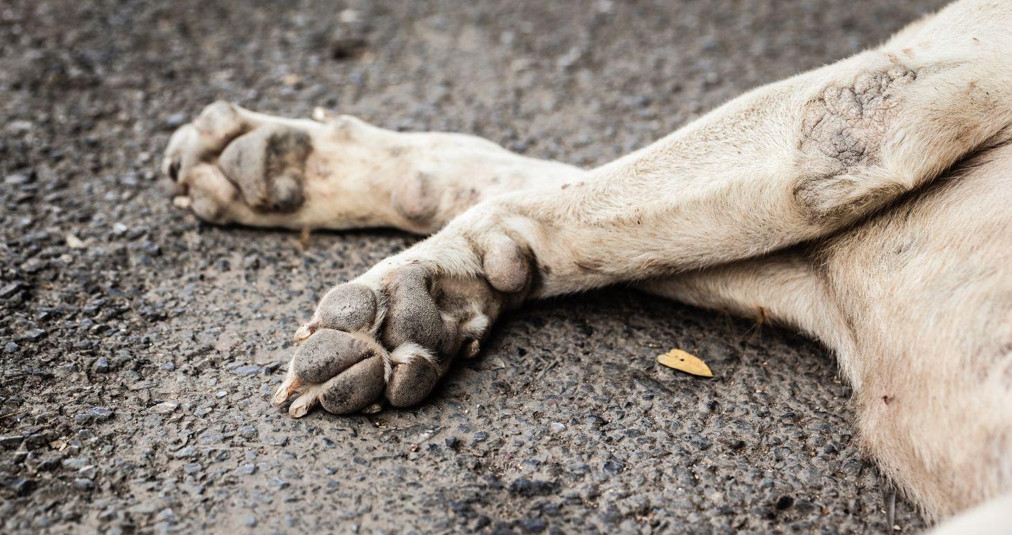 patas de cahorro no asfalto representando atropelamento de animais