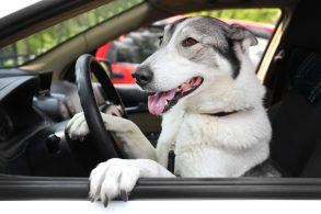 'Cachorro estava dirigindo', diz mulher após bater o carro