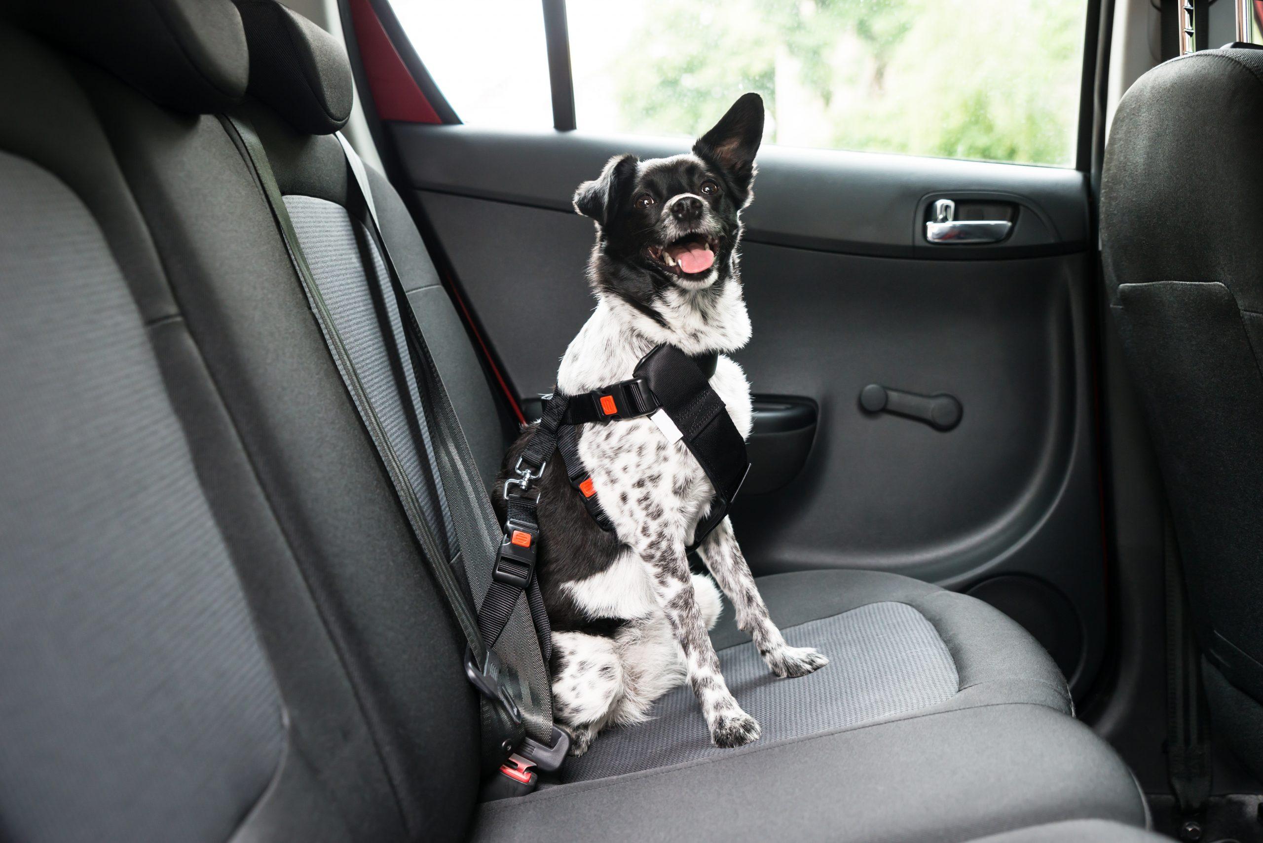 cao sentado no banco de tras de carro com cinto de seguranca para cachorro